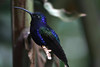 Violet Sabrewing Hummingbird (Campylopterus hemileucurus) - grows to about 5.5 in. (14 cm) long
