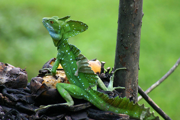 Green Basilisk Lizard (Basiliscus plumifrons) - also called the Double Crested Basilisk and Jesus Christ Lizard (for its ability to scamper across the water surface in order to elude predators - they grow up to around 3 ft. (.9 m) in length, with the tail making up about 2/3 of it total length