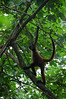 Geoffroy's Spider Monkey (Ateles geoffroyi) - also known as Black-handed Spider Monkey