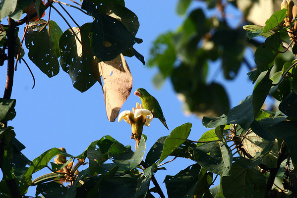 Olive-throated Parakeet (Atatinga nana) - munching on a tree bloom