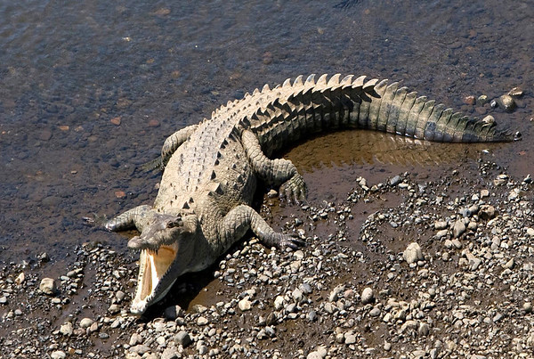 American Crocodile (Crocodylus acutus) - along the bank of the Tarcoles River - they rest with their mouth's open as a means to cool off, for their skin has no sweat glands - they differ from the Alligator by having a longer and narrower snout, and much less resistant to colder weather