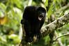 An angered Golden-mantled Howler Monkey