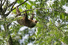 Two-toed Sloth (Choloepus hoffmanni) - they have 2 claws on the front legs and 3 claws on the hind - they are larger than the Brown-throated sloth, has a longer snout, and they have no tail - they measure about 28 in. (71 cm) in head-body length, and weigh up to around 20 lb. (9 kg)