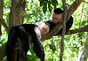 White-faced Capuchin (Cebus cupachinus) - taking an afternoon arboreal nap
