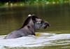 Baird's tapir (Tapirus bairdii) - Rio Sirena - Corcovado National Park