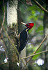 Crimson-crested Woodpecker (Campephilus melanoleucos) - 2nd largest woodpecker on Planet Earth, measuring 14 in. (36 cm) long and weight up to about 10 oz. (85 gm) - the Imperial Woodpecker in Mexico, the largest