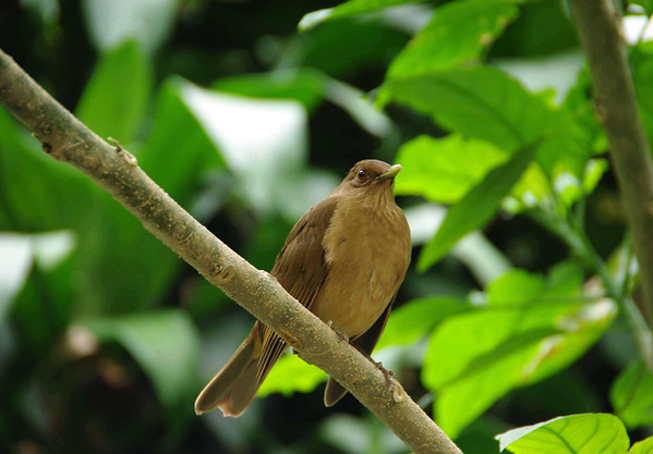 "Clay-colored Thrush (Turdus grayi) - the National Bird of Costa Rica - known locally as ""yigüirro"" - they grow to about 10 in. (25 cm) long and weight around 2.6 oz. (74 g) on the average - in 1977, the Costa Ricans chose this bird above many other colorful birds of the country, due to its strong and melodious song that always comes during the start of the rainy season"