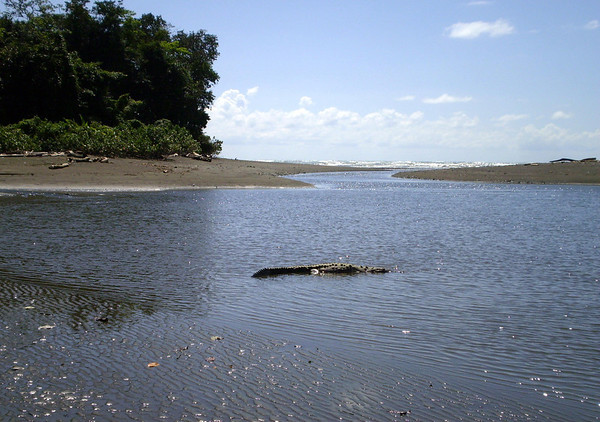 Crocodile in the Rio Sirena, at low tide, with the Pacific Ocean beyond - Corcovado National Park
