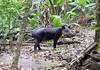 Baird's tapir (Tapirus bairdii) - Corcovado National Park