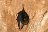 Greater Sac-winged Bat (Saccopteryx bilineata) - also called the White-lined Bat - this specimen clinging to a tree trunk - their head and body length measures up to about 2.2 in. (56 mm) and weight up to around .3 oz. (9 gm) - they have two buff colored stripes extending from the neck to the rump, and the wing sacs membranes are blackish and hairless