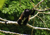 Golden-mantled Howler (Alouatta palliata palliata) - males have an enlarged hyoid bone (a hollow bone near the vocal chords used for their loud calls) - they are considered one of the loudest animals on Planet Earth, for their typical dawn and dusk vocals can be heard from up to 3 mi. (5 km) away, and that is amongst dense tropical vegetation creating natural attenuation, not a rock lined canyon wall