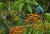 Green honeycreeper (Chlorophanes spiza) - enjoys a view from a panicle of fruits on a Miconia longifolia