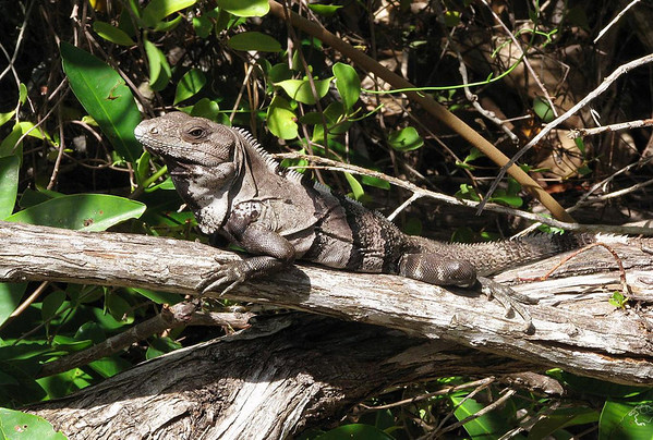 Black Spiny-tailed Iguana (Ctenosaura similis) - their distinctive keeled scales on their long tails, which gives them their common name - they also have keeled scales along their backs and will normally have dark dorsal bands around their body too - they are the fastest lizard on Planet Earth, scampering at 21 mph (34 kmh)