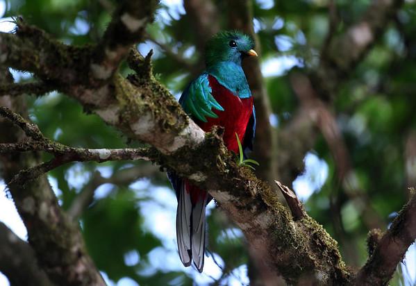 Resplendent Quetzal (Pharomachrus mocinno) - a bird in the Trogon family