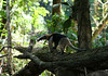 Northern Tamandau (Tamandua  mexicana) - a small anteater they measure about 3 ft. (.9 m) from snout to tail, and about a 2 ft. (61 cm) prehensile tail, and weighing about 12 lb. (5.4 kg)