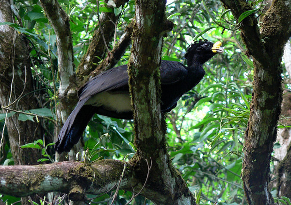 Great Curassow (Crax rubra) - a rainforest bird, measuring up to around 3 ft. (91 cm) in length and 10 lb. (4.5 kg) in weight - this specimen is a male, characterized by the yellow knob on the bill