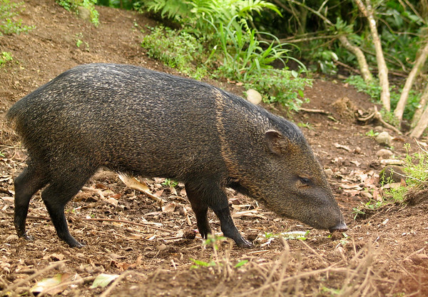 Collared Peccary (Pecari tajacu) - also called a Javelina or Musk Hog - they stand around 2 ft. (.6 m) tall at the shoulder, about 5 ft. (1.5 m) long, and weight up to about 60 lb. (27 kg) - they are diurnal omnivores feeding on fruits, tubers, grasses, invertebrates and small vertebrates