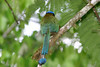Blue Crowned Motmot - measures 18 in. (46 cm) which includes its long bare-shafted racket tip tail feathers