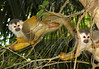 Squirrel Monkey (Saimiri oerstedii) - they have one of the most egalitarian (equal) social structures of all monkeys