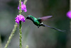 Green Thorntail (Discosura conversii) - grows to about 4 in. (10 cm) long
