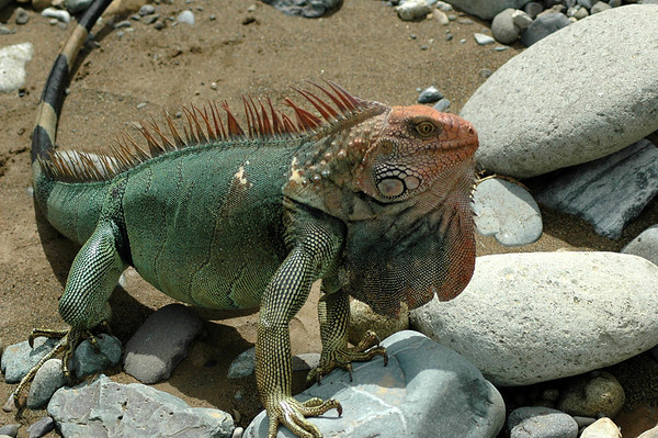 Green Iguana (Iguana iguana) - also called the Common Iguana - they grow to around 5 ft. (1.5 m) long from head to tail tip, and weigh about 15 lb. (7 kg)