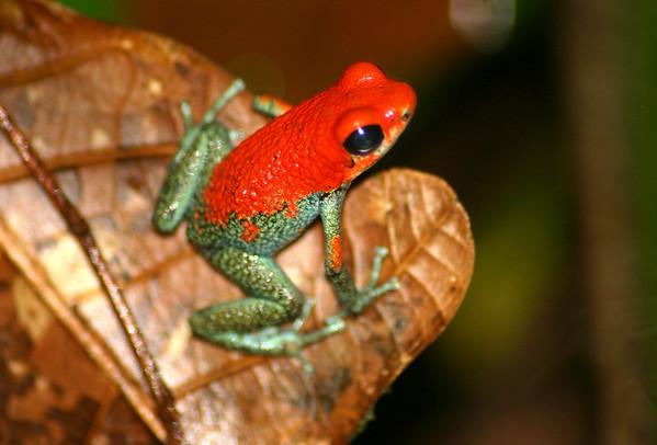 "Granular Poison Dart Frog  (Dendrobates  granuliferus) - an ""aposematic"" organism (their bright coloration advertises unpalatability to potential predators)"