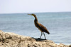 Bare-throated Tiger Herron (Tigrisoma mexicanum) - along the rocky coast at Cabo Blanco