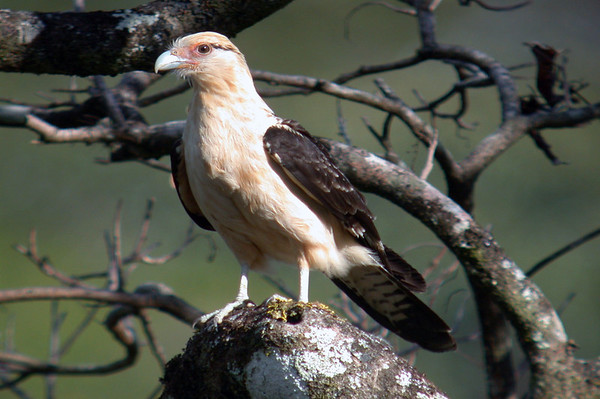 Yellow-headed Caracara (Milvago chimachima) - a bird of prey in the Falcon family - they are a slow flying falcon, and sometimes a scavenger feeding carrion