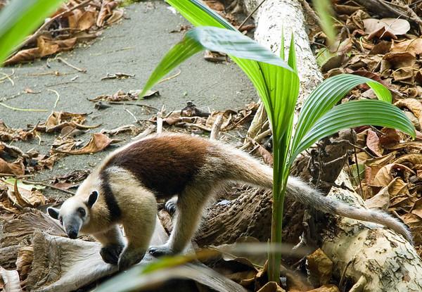 Northern Tamandau (Tamandua mexicana) - anteater