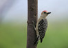 Red-crowned Woodpecker (Melanerpes rubricapillus) - males have red crown and nape (back of neck)