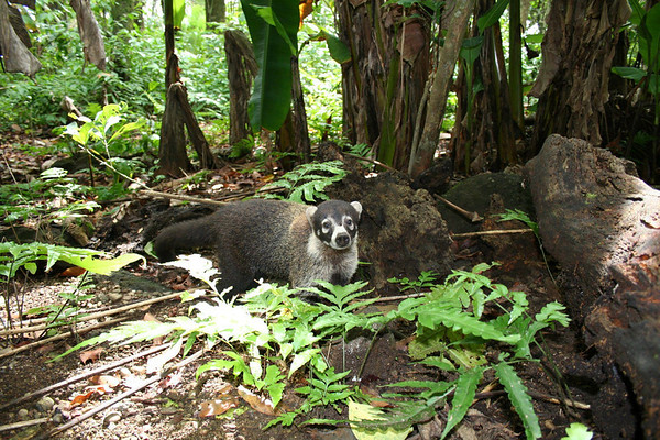 White-nosed Coati (Nasua narica) - they are diurnal omnivores, feeding on small vertebrates, fruits, insects, eggs and carrion