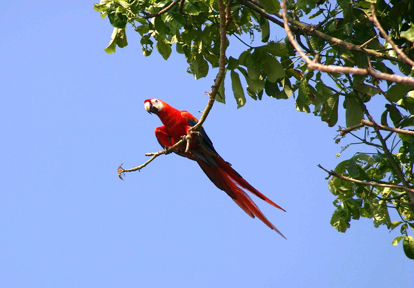 Scarlet Macaw  (Ara macao) - the largest parrots on Planet Earth, growing to about 33 in. (85 cm), including the long tail feathers - their weight reaches up to around 2.4 lb. (1.1 kg)