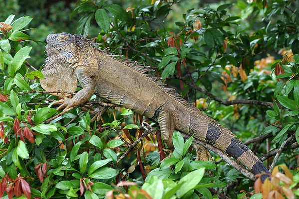 Green Iguana (Iguana iguana) - they have a pronounced dewlap, a crest of comb-like spines that runs down the centre of the back and tail, two horns on their snout, and usually black dorsal bands - their color can