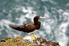 Brown Booby (Sula leucogaster) - females have yellow facial skin (as seen here), while males have blue
