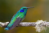 Green Violetear (Colibri thalassinus) - grows to about 4.7 in. (12 cm)
