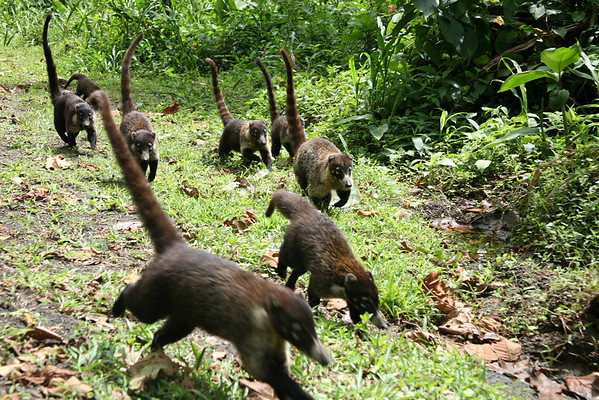 White-nosed Coati (Nasua narica) - locally known as the Pizote - they range from Arizona in the U.S. to Ecuador in S.A. - they weight up to around 13 lb. (6 kg) and grow to about 3.5 ft. (1 m) long, with their tails making up about 1/2 of their length