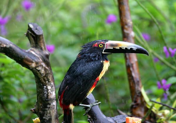 Collared Aracari (Pteroglossus torquatus) - weathering the rain