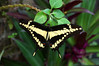 Ornythion Swallowtail - (Papilio ornythgion) - grows about a 4.5 in. (114 mm) wingspan