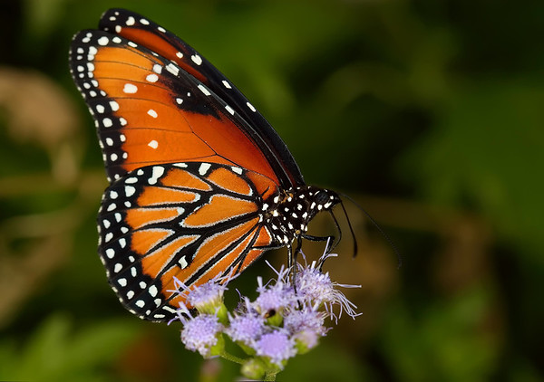 Queen Butterfly (Danaus gilippus) - with a wingspan of about 3 in. (76 mm)