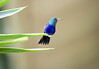 Violet Bellied Humminbird (Damophila julie)