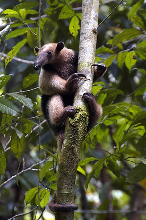 Northern Tamandau (Tamandua mexicana) - a small anteater, that has 4 claws on its front feet and 5 claws on the hind feet, with a prehensile tail