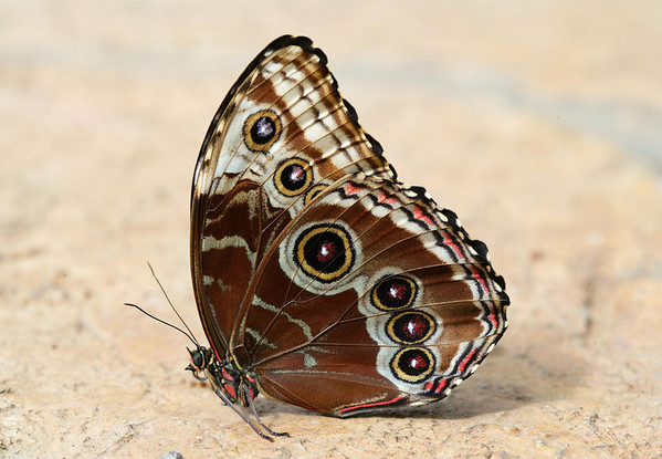 """Peleides Blue Morpho (Morpho peleides) - also known as """"The Emperor"""" - the ventral coloration and pattern"""