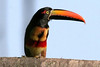 Fiery-billed Aracari (Pteroglossus frantzii) - a Toucan measuring about 17 in. (43 cm) long and weighs about 9 oz. (255 gm)