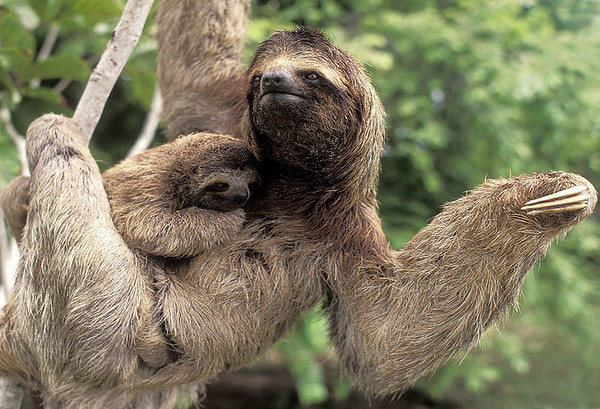 Brown-throated Three-toed Sloth (Bradypus  variegatus) with young offspring