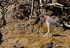 Green Heron (Butoroides virescens)