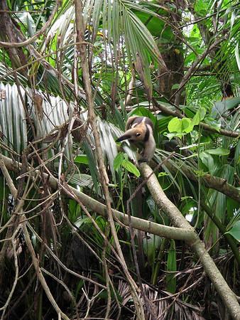 Northern Tamandau (Tamandua mexicana) - a small anteater foraging for food