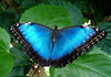 "Peleides Blue Morpho  (Morpho peleides) - also known as ""The Emperor"" -  an iridescent blue tropical butterfly with a wing span measuring around 7.5 in. (10 cm) wide - their lifecycle is only 115 days (egg, larvae, catepiller, adult butterfly) - their main diet is the juice from rotting fruits"