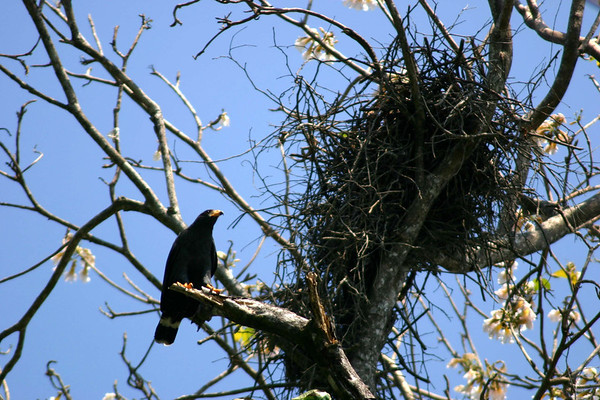 Common Black Hawk (Buteogallus anthracinus) - their average body measures about 20 in. (51 cm) in length, a wingspan of about 4 ft. (1.2 m), and weighs around 2 lb. (930 gm) - they are a bird of prey that feeds mainly on crabs, but will also take snakes, frogs, and small birds - here adjacent to its nest
