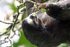 Brown-throated Sloth (Bradypus variegatus) - an incredibly docile and sedate arboreal mammal - whose primary diet is young leaves