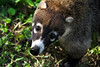 White-nosed Coati (Nasua narica) - locally known as the Pizote